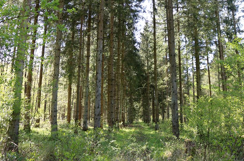 Blick in den Wald, Schleswig-Holsteinische Landesforsten