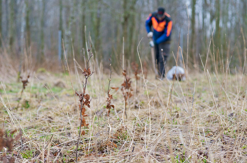 Pflanzung der Schleswig-Holsteinischen Landesforsten
