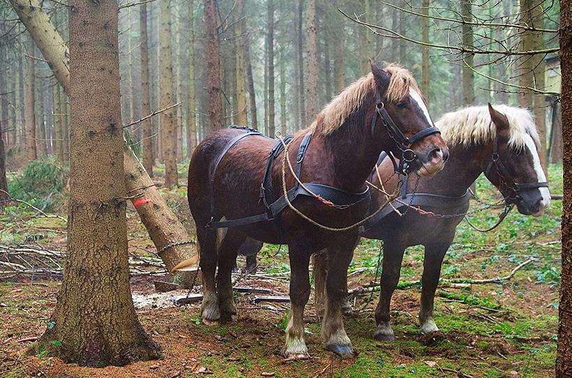 Rückepferde in den Wäldern der Schleswig-Holsteinischen Landesforsten