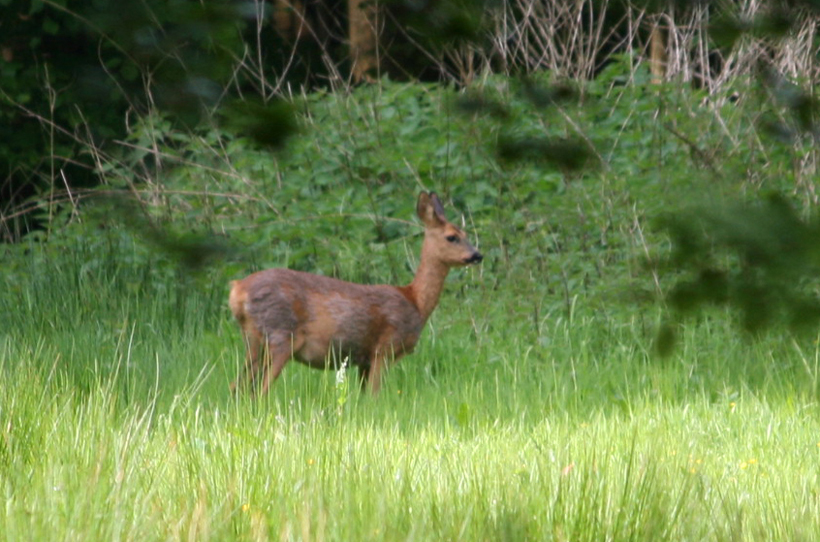 Reh in den Wäldern der Schleswig-Holsteinischen Landesforsten