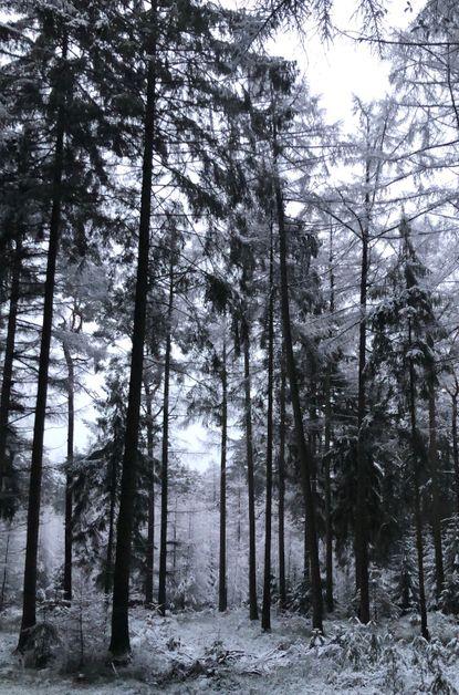 Nadelwald im Winter