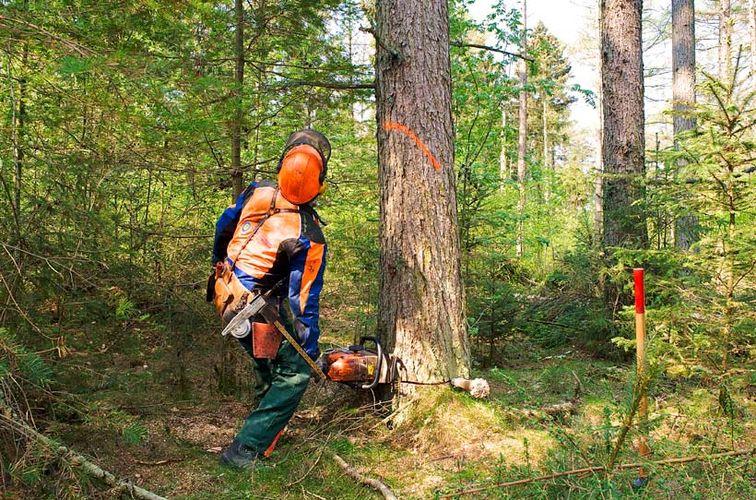 Forstwirt beim Fällen eines Baumes